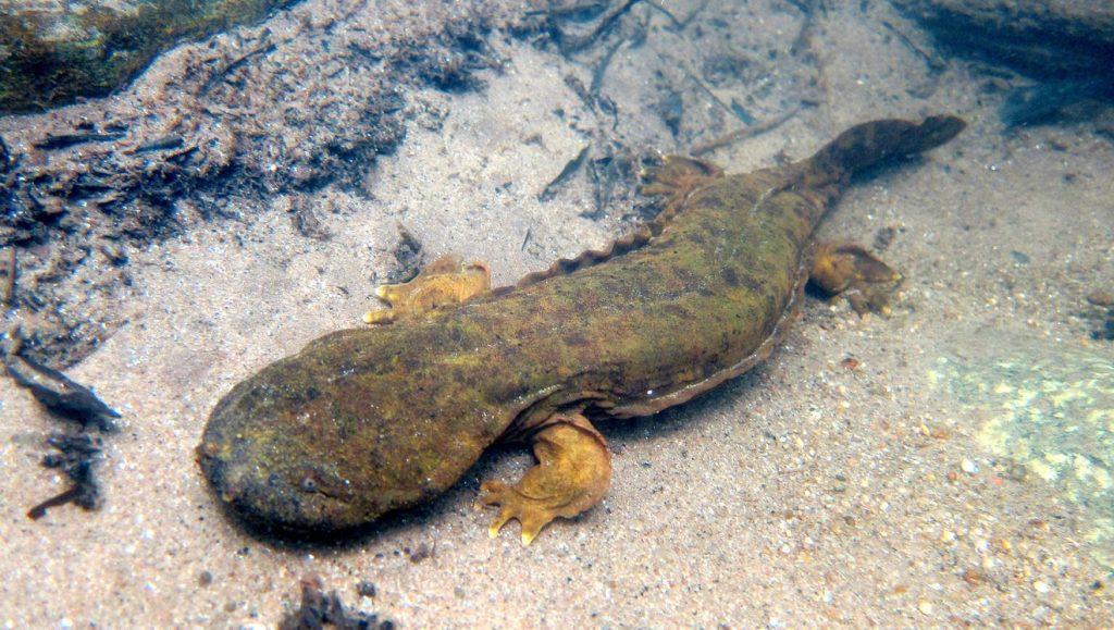 Image of Hellbender Salamander